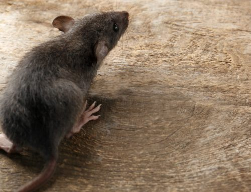 Spring Cleaning- Did You Find Evidence of Rodents in your Home?