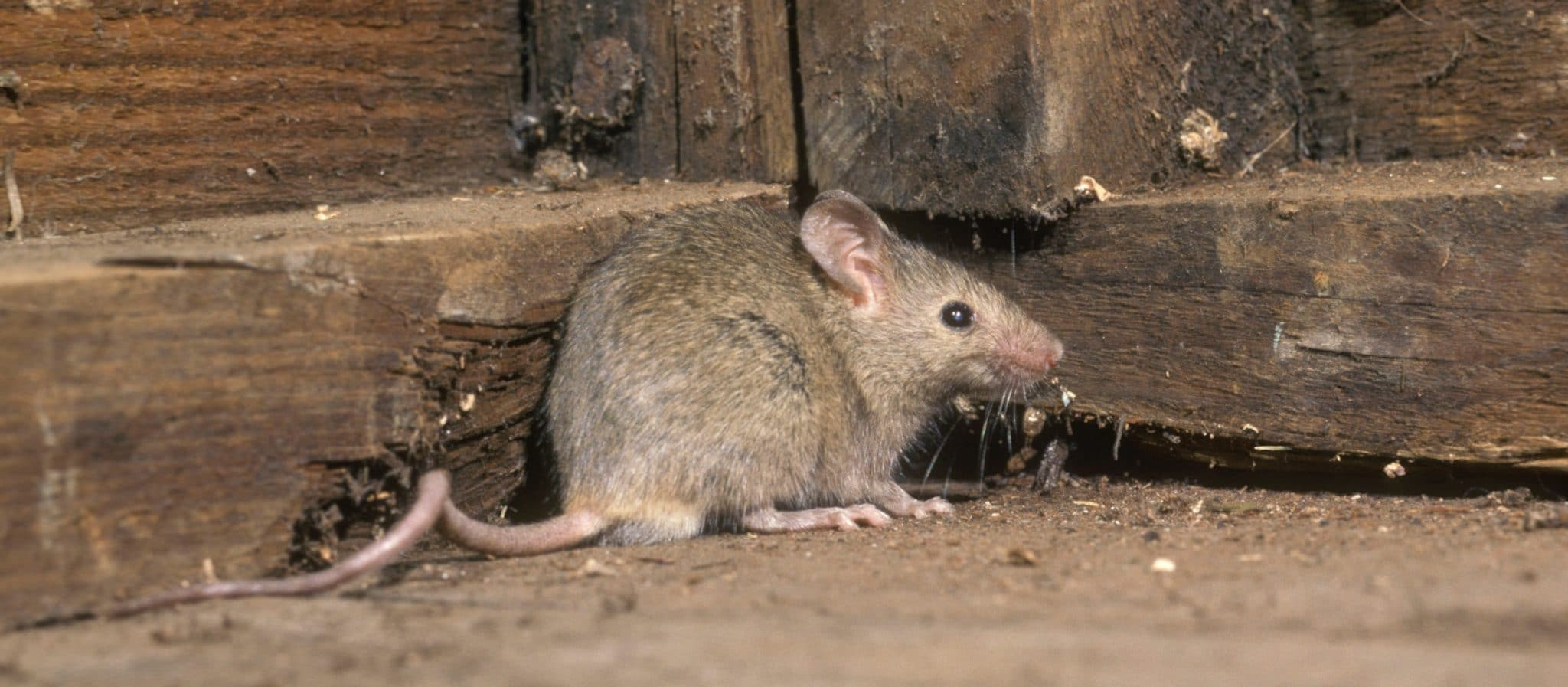 Mouse inside a residential structure