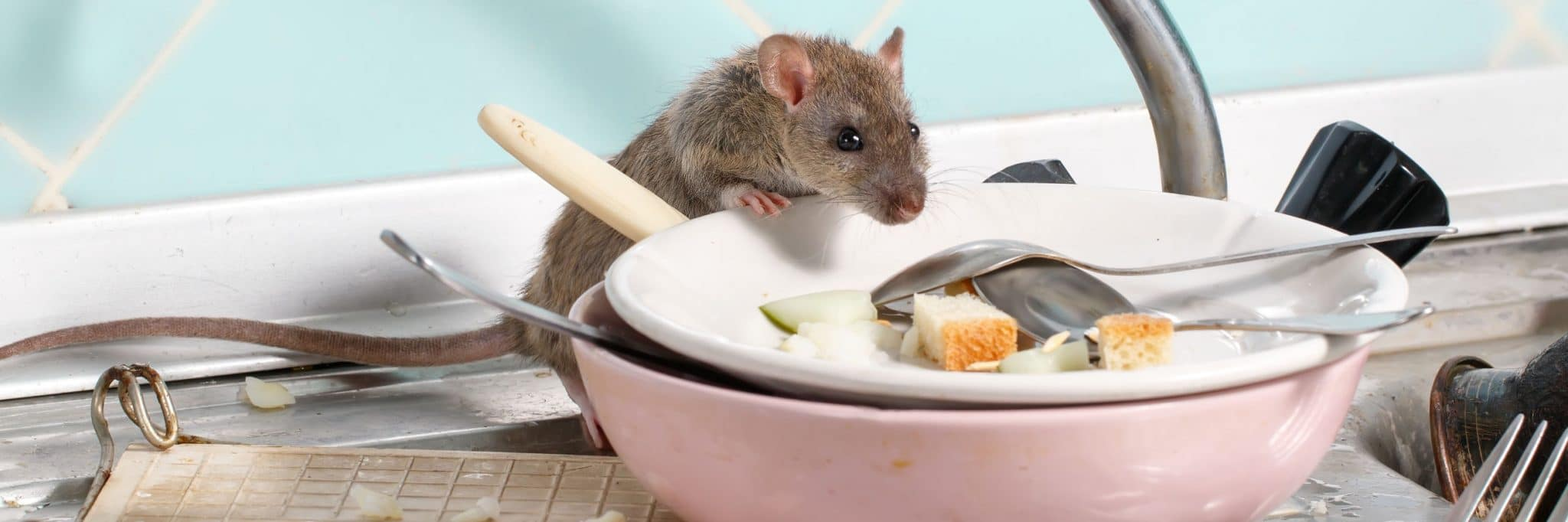Rat on dish in a kitchen